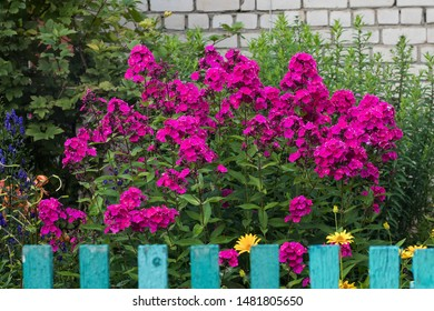 Purple phlox in the front garden behind a fence in a Russian village