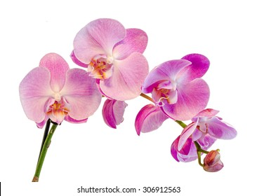 Purple, pink branch orchid  flowers, Orchidaceae, Phalaenopsis known as the Moth Orchid, abbreviated Phal. White background.