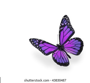 Purple and Pink Butterfly on White Background