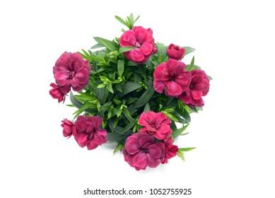 violettes rosa Dianthus blüht in Blumentopf. einzeln auf weißem Hintergrund. Draufsicht.