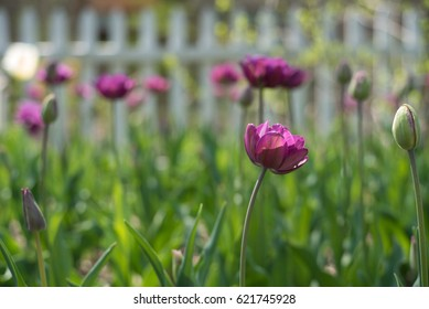 Purple and Pink Flower Tulips