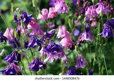 Purple and pink flowering columbines in a garden