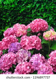 purple and pink hydrangea for textures