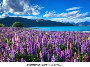 Purple pink lupinus flower blossom at Lake Tekapo, New Zealand