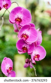 Purple pink orchid from Singapore National Orchid Garden