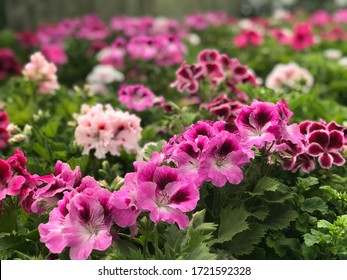 Purple and Pink Pelargonium flowers , Pelargonium flowers in the garden. Closeup Pelargonium flowers. Geranium flowers