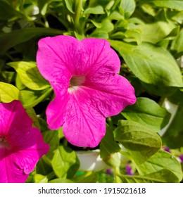 Purple pink Petunia's Flower check