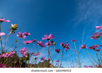 Purple, pink, red, Beautiful cosmos flowers blooming in the garden with blue sky background