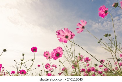 Purple, pink, red, cosmos flowers in the garden with sky clouds soft blur background in pastel retro vintage style.