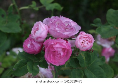Purple and pink rose in the garden. - Shutterstock ID 1413819473