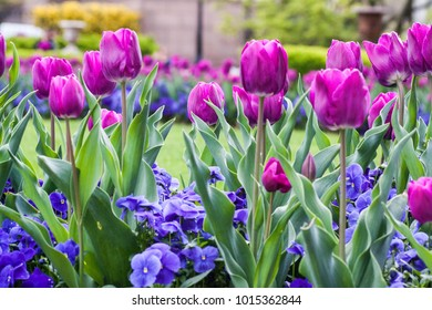 Purple and pink tulips in the garden in front of the Smithsonian Castle