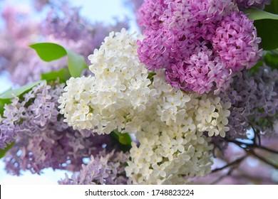 Lilac-Bäume/Sträucher, violett, rosa und weiß