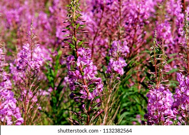 Image result for purple willow russia
