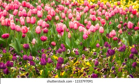 Purple, pink and yellow tulips in spring at the Floriade Festival in Canberra, Australian Capital Territory, Australia.