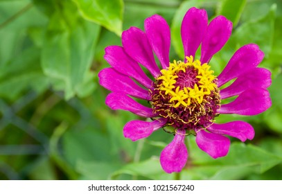 Purple flower yellow center images stock photos vectors purple pink zinnia flower zinnia elegans with bright yellow stamens in the centre against mightylinksfo Choice Image