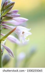 purple plantain lily flowers macro