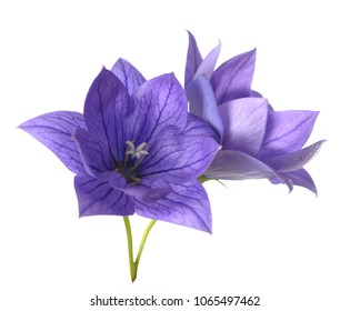 purple Platycodon grandiflorus flowers isolated on white background