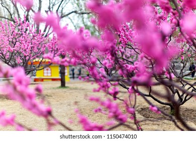 Purple plum blossoms in full bloom in Beijing, China in early spring