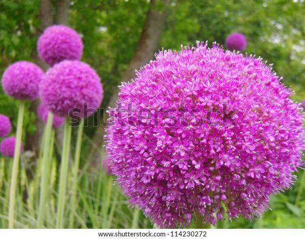 Purple pompom flowers