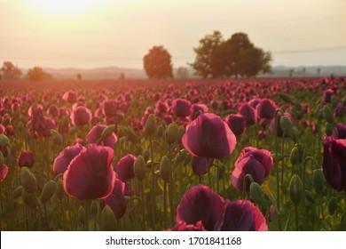 Purple poppies field at sunshine. Violet flowers Papaver somniferum in summer.