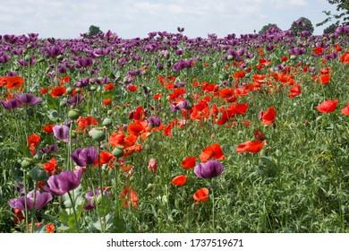 Purple poppy field in Hungary