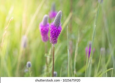 Purple Prairie Clover wild flower,Dalea purpurea.