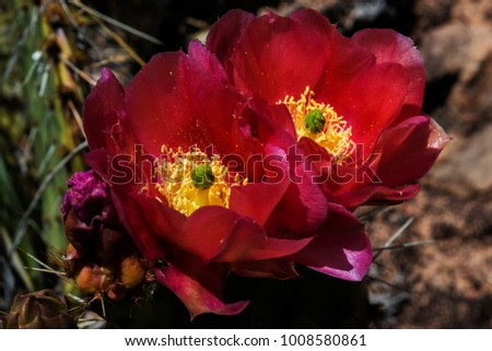 Purple Prickly Pear cactus (opuntia) flower