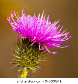 Purple prikley thistle flower on natural brown background