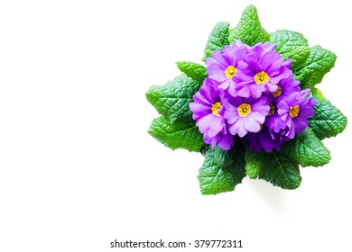Purple Primula flowers isolated on white background with copy space