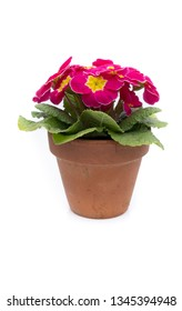 Purple primula hybrid in terracotta clay plant pot, isolated against white background.