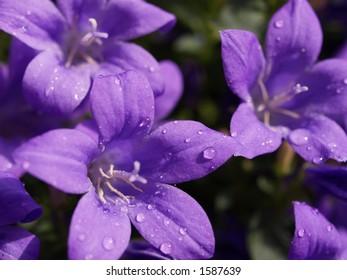 Purple Rain, water droplets on campanula