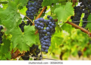 Purple red grapes with green leaves on the vine.