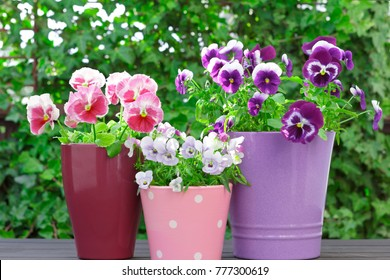 Purple, red and lilac pansy flowers in 3 colorful pots on a balcony table, copy space, background template