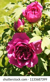 Purple red paeonia suffruticosa or peony tree flowers  with foliage
