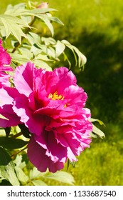 Purple red paeonia suffruticosa or peony tree flower head with foliage vertical