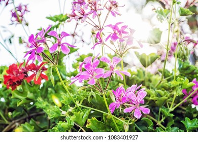 Purple and red Pelargonium flowers - Pelargonium hortorum - in the garden. Natural scene. Beauty in nature.