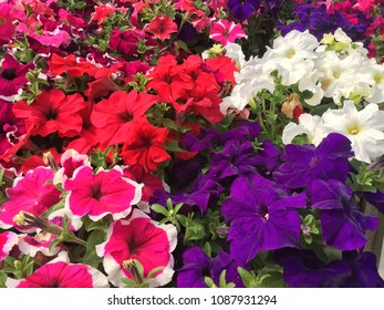 Purple, red, white, variegated pink petunias