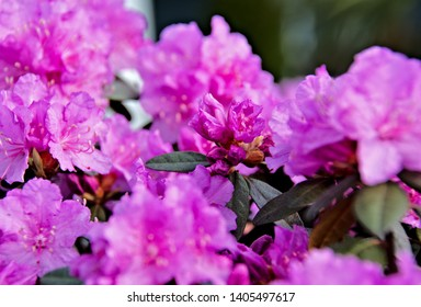 Purple rhodo in full bloom exhibiting the delightful purple color of flowers and petals with some hidden green foliage details on stamen and petal part of the spring growth cycle in the backyard