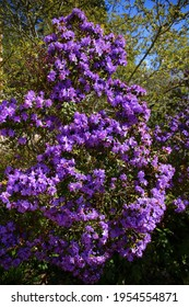 Purple rhododendron blooming in the park