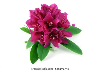 purple Rhododendron blossom on isolated background