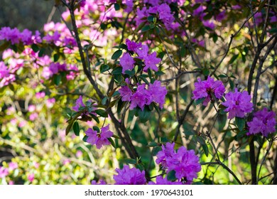 Purple rhododendron bush with many beautiful flowers