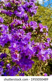 Purple rhododendron flowers in the park