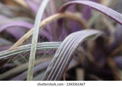 Purple Ridged Grass Leaves. Natural Texture Background