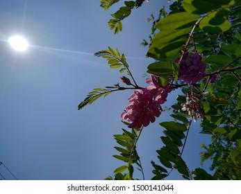 Purple Robinia pseudoacacia flowers illuminated by sunlight amid green small leaves