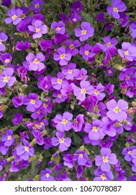 Purple Rockcress in Spring