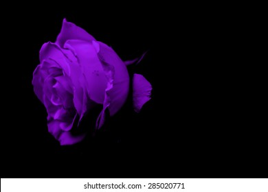 Purple rose - Purple flower - Rose isolated on black background