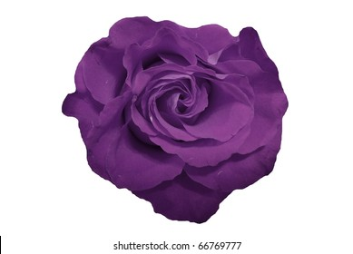Purple Rose Flower Isolated on White