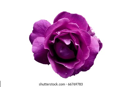 Purple Rose Flower with Water Droplets Isolated on White