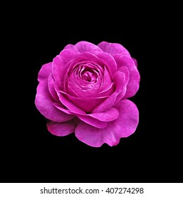 Purple Rose isolated on black background
