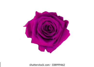 purple rose isolated on white background.